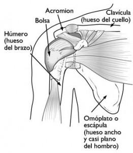 Anatomía normal del hombro